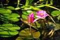 Lotus water lily lake of tieling?china Stock Photos