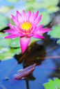 Lotus in the water pink flower green leaves Stock Images