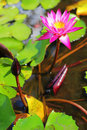 Lotus in the water pink flower green leaves Stock Photos
