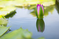 Lotus on water with reflection Stock Photo