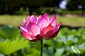 Lotus which shines flower sparkles with the morning sun Stock Photos