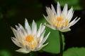 Lotus white in the pond Stock Photo