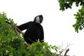Very noisy Gibbon monkey on tree top Royalty Free Stock Photo
