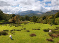 Loughrigg fell cumbria sheep grazing on near grasmere england Stock Photo