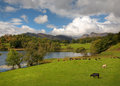 Loughrigg tarn cumbria beautiful with grazing cows and geese by the waters edge england Stock Photography
