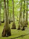 Louisiana bayou Royalty Free Stock Photo