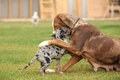 Louisiana catahoula bitch playing with puppy Royalty Free Stock Images