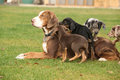 Louisiana catahoula bitch with puppies on the grass Stock Photography