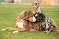 Louisiana catahoula bitch with puppies on the grass Royalty Free Stock Images
