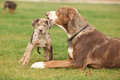 Louisiana catahoula bitch with puppy on the grass Royalty Free Stock Photography