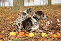 Louisiana catahoula dog with adorable in autumn amazing puppies Royalty Free Stock Photo