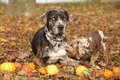 Louisiana catahoula dog with adorable puppy in autumn Stock Photos
