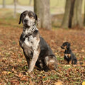 Louisiana catahoula dog with puppy in autumn amazing adorable Royalty Free Stock Images