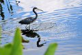 Louisiana heron wader a also called tricolored walking in the water of a south florida wetland in delray beach Stock Photos