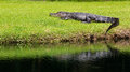 Lounging alligator on the banks of canal on hilton head island south carolina Royalty Free Stock Images
