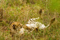 Lounging Cheetah in the Bush in South Africa Royalty Free Stock Photo