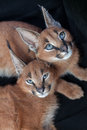 Lounging de deux caracals Photo stock
