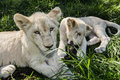Lounging lion cubs two in the green grass Royalty Free Stock Photo