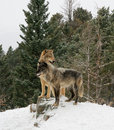 Loups Photographie stock