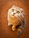 Lovable scottish fold cat and funny Stock Image
