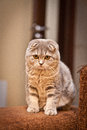 Lovable scottish fold cat and funny Stock Photo