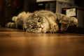 Lovable scottish fold cat and funny Royalty Free Stock Image