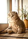 Lovable scottish fold cat and funny Stock Images