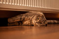 Lovable scottish fold cat and funny Royalty Free Stock Photos