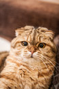 Lovable scottish fold cat and funny red head playing Royalty Free Stock Photos