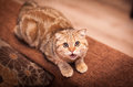 Lovable scottish fold cat and funny red head playing Stock Image