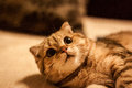 Lovable scottish fold cat and funny red head playing Stock Images