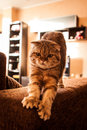 Lovable scottish fold cat and funny red head playing Stock Photo