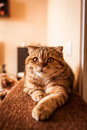 Lovable scottish fold cat and funny red head playing Royalty Free Stock Image