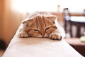 Lovable Scottish fold cat / kitten Royalty Free Stock Photo