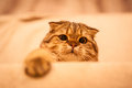 Lovable scottish fold cat playing red head Royalty Free Stock Image
