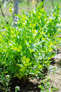 Lovage plants in the sun garden Stock Photography