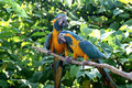 Love Birds - Macaws Royalty Free Stock Photo
