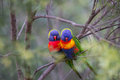 Love Birds in a soft bush setting Royalty Free Stock Photos