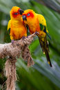 Love birds two kissing on a perch Stock Image