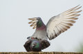 Love and courtship in pigeons Royalty Free Stock Photo