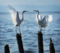 Love egrets shenzhen bay mangrove two Royalty Free Stock Photos
