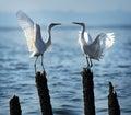 Love egrets