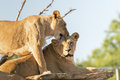 The love of the lions. Royalty Free Stock Photo