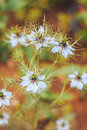 Love-in-a-mist the flower in garden Royalty Free Stock Photo