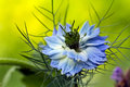 Love-in-a-mist flower  Nigella damascena Stock Photos