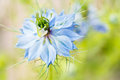 Love in a mist flower of nigella damascena aka or ragged lady with blurred background Stock Photos