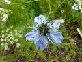 Love in a Mist Nigella damascena Flower in Delicate Blue Colors Royalty Free Stock Photo
