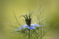 Love-in-a-mist & x28;Nigella damascena& x29; flower and bracts Royalty Free Stock Photo