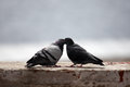 Pigeons in love Royalty Free Stock Photo