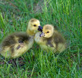 The love between two young canadian geese Stock Photo
